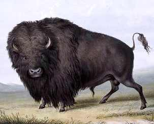 Picture of the Buffalo animal by George Catlin