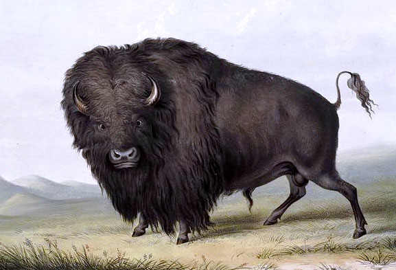 Buffalo Picture by George Catlin