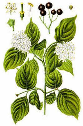 Herbal Herbs - Dogwood
