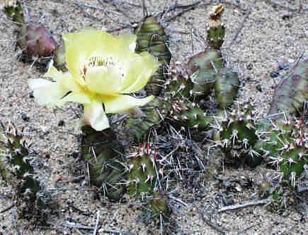 Cactus Symbol ***